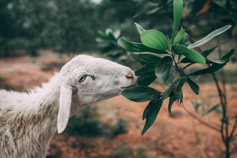 địa điểm du lịch nghệ an: cánh đồng nuôi cừu-03