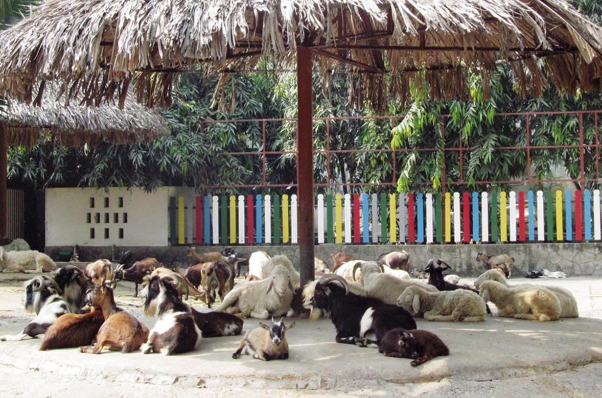 Đàn dê tại khu vườn thú của Thảo Cầm Viên