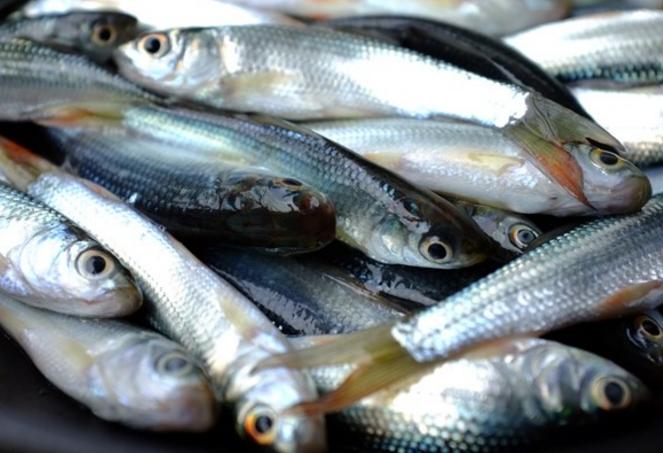 Cá Linh và cá Sặc sử dụng để làm bún mắm Sài Gòn
