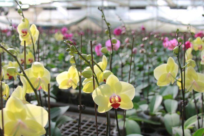 Hoa lan trong muôn ngàn loại hoa ở Vườn hoa nhiệt đới Mộc Châu (Nguồn sưu tầm)