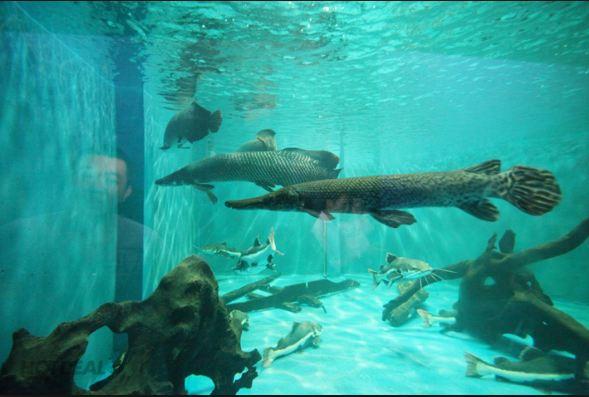 Thủy cung Đầm Sen còn có những loại cá quý hiểm khổng lồ