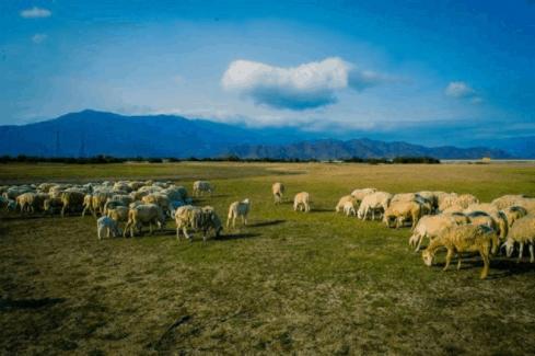 Cánh đồng cừu mênh mông