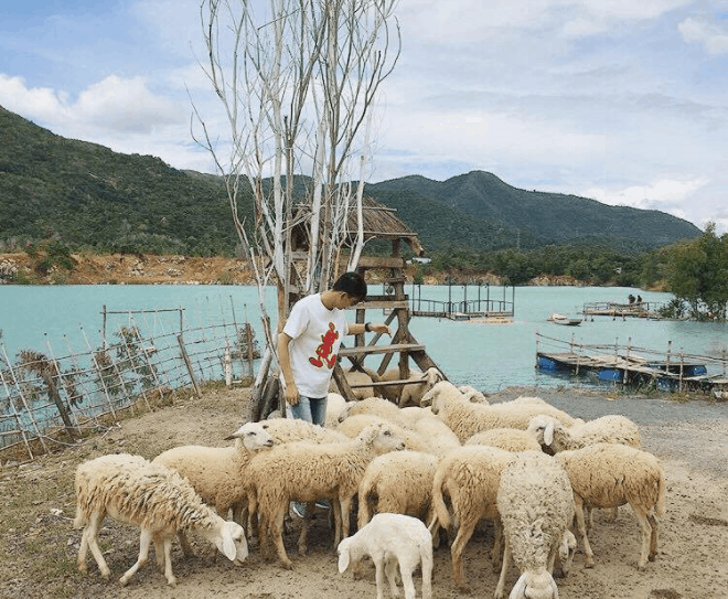 Chụp ảnh với cừu