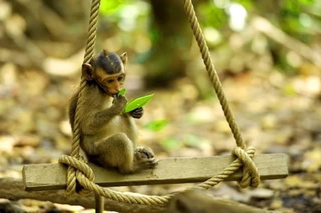 Một chú khỉ lông vàng đáng yêu (Ảnh: ST)