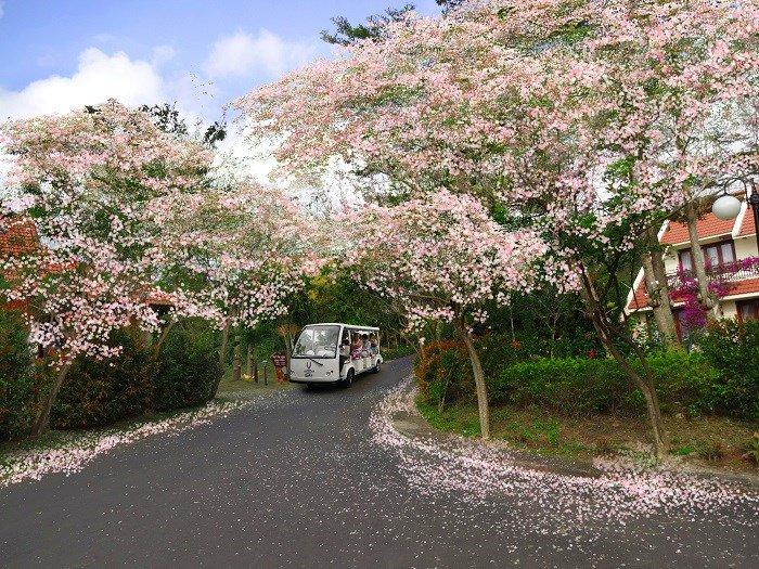 Con đường đầy hoa đỗ mai nở (Ảnh: ST)