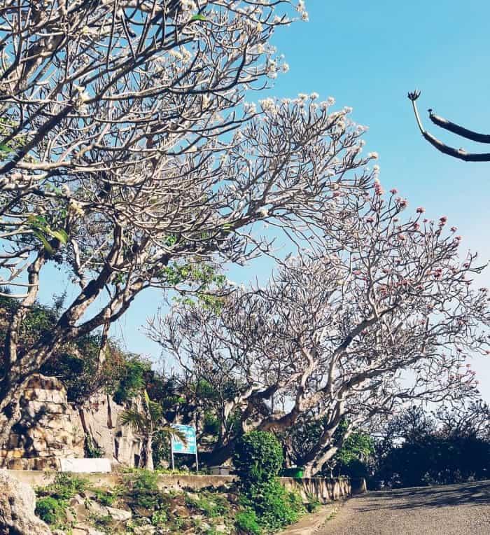 Rừng hoa sứ bạt ngàn của hải đăng Vũng Tàu Bà Rịa (Ảnh sưu tầm)