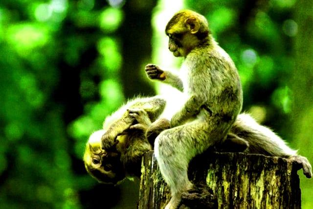 Những chú Khỉ trong tour du lịch Cần Giờ (Ảnh: ST)
