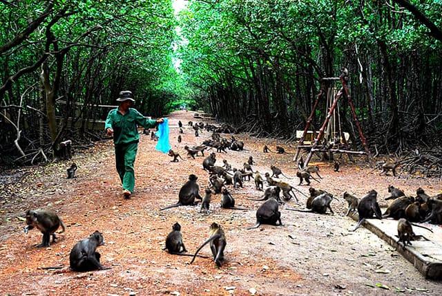 Hình ảnh đàn Khỉ ngày một đông trên con đường đảo khỉ Cần Giờ(Ảnh: ST)