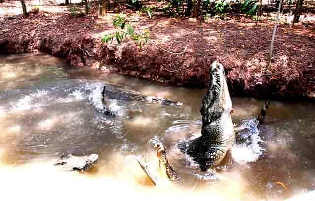 Những chú cá sấu hung dữtại khu du lịch Vàm Sát (Ảnh: ST)