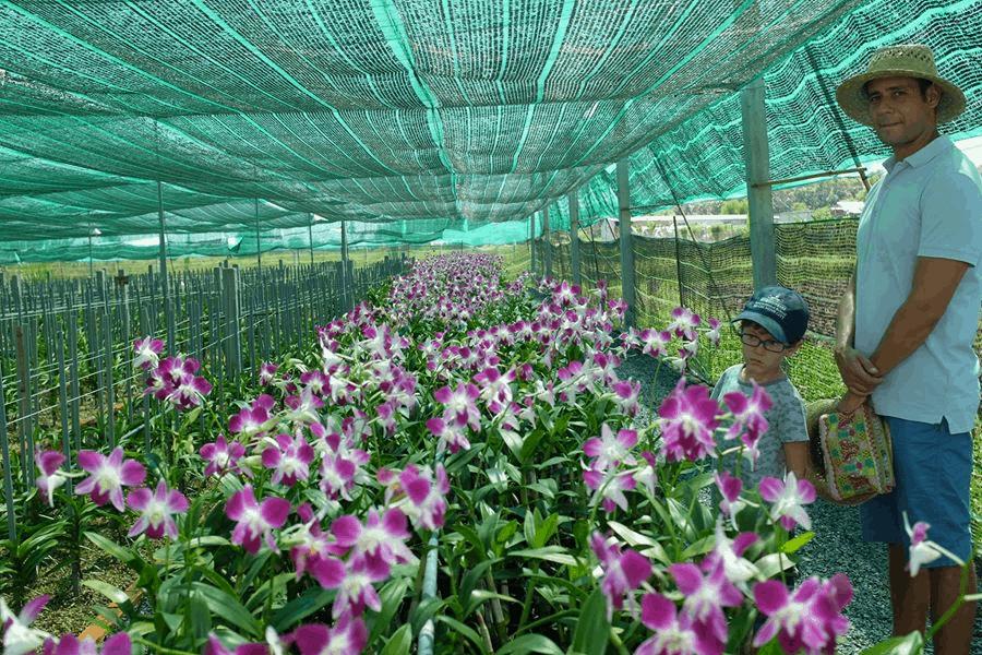 Hoa nông trang xanh ở Củ Chi