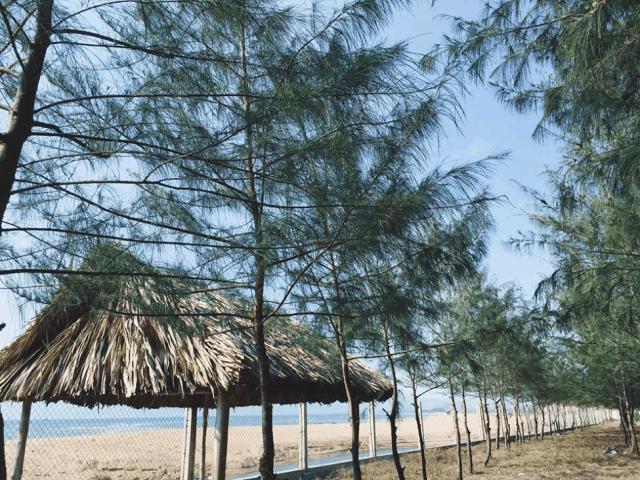 Rừng dương xanh mát rì rào trong gió