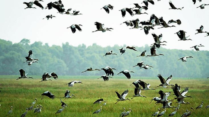 Các loài chim trong vườn quốc gia Tràm Chim (Ảnh ST)