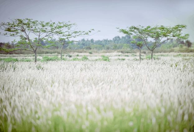 Cánh đồng cỏ lau (Ảnh ST)