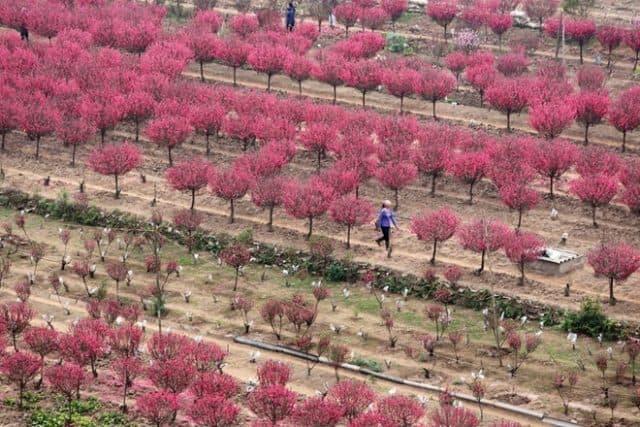 Vườn đào Nhật Tân ngày tết