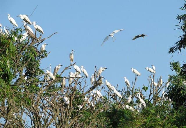 ào mùa sinh sản, từng đàn chim kéo nhau về làm tổ