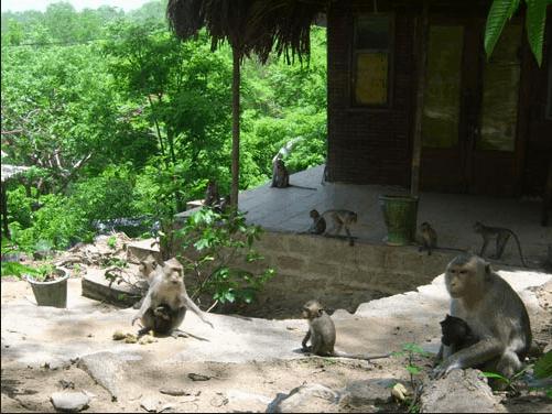 Đàn khỉ từ trên núi xuống thiền viện xin ăn
