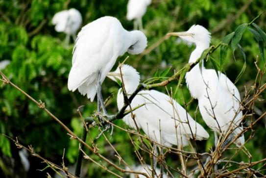 Vườn cò Bằng Lăng (Ảnh ST)