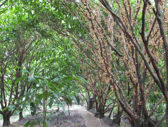 Vườn trái cây Vàm Xáng (Ảnh ST)