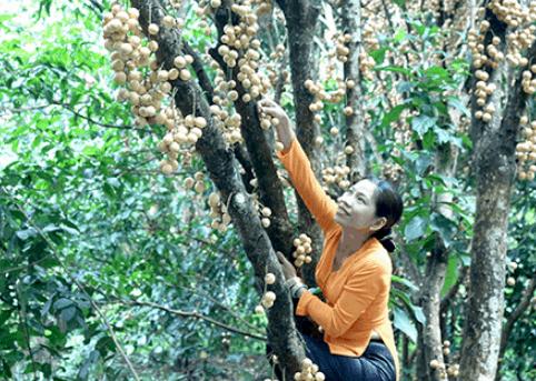 Trái cây trong khu du lịch Vàm Xáng (Ảnh ST)