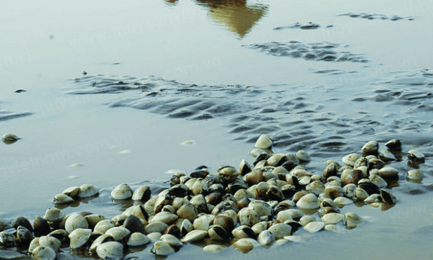 Bãi nghêu tại bờ biển Cần Giờ