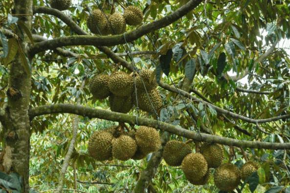 Chiêm ngưỡng những vòm cây trĩu quả tại Lái Thiêu