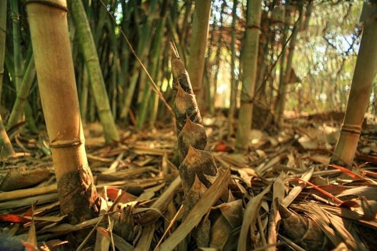 Những giống cây tre mới được ươm mầm (Ảnh: ST)