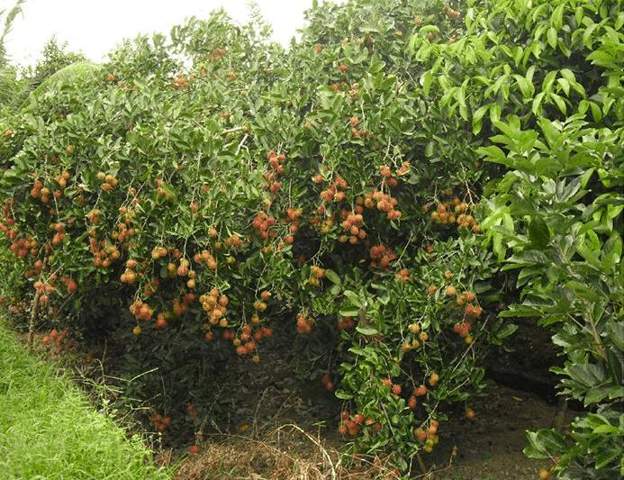 Chôm chôm vào mùa thu hoạch