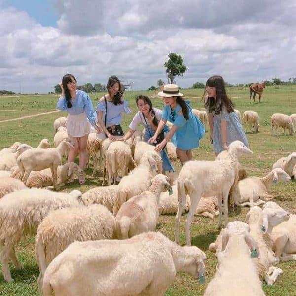 Kết quả hình ảnh cho đồng cừu vũng tàu