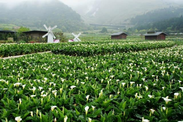 Lên núi Dương Minh ngắm hoa nở rộ (Ảnh ST)
