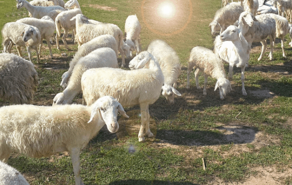 """Đồi cừu rất có thể là """"từ khóa"""" cho kì nghỉ lễ thú vị của bạn đấy!(ảnh ST)"""