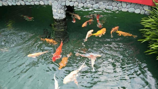 Đến chơi với hàng trăm chú cá Koi nào! (ảnh ST)