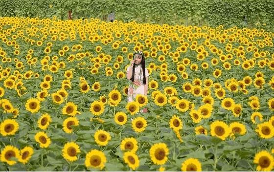 """Cánh đồng hoa hướng dương gây sốt như trong bô phim """"Nhắm mắt thấy mùa hè"""""""