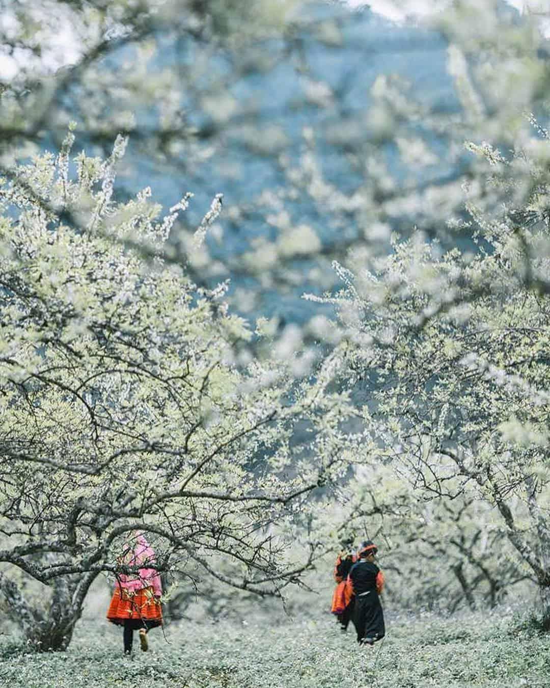 Những bông hoa mơ trắng tinh khôi