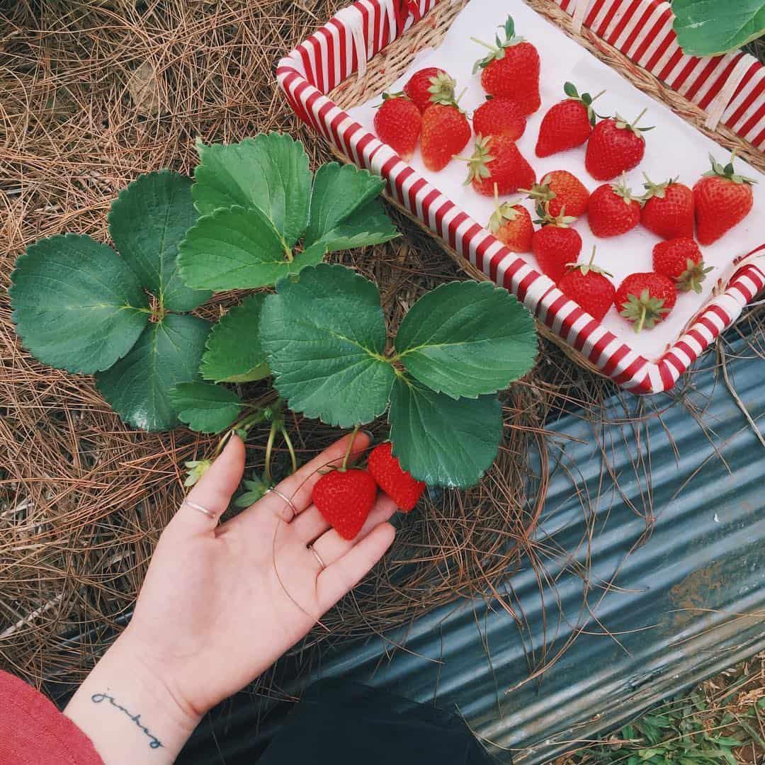 vườn dâu tây mộc châu